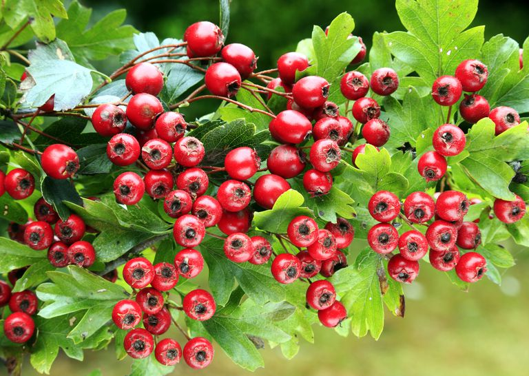 khasiat hawthorn berry- eskayvie indonesia