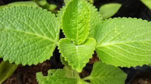 daun stevia - pemanis alami yang baik
