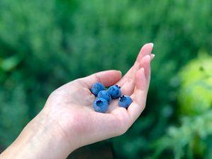 manfaat blueberry pada Eskayvie Phytax